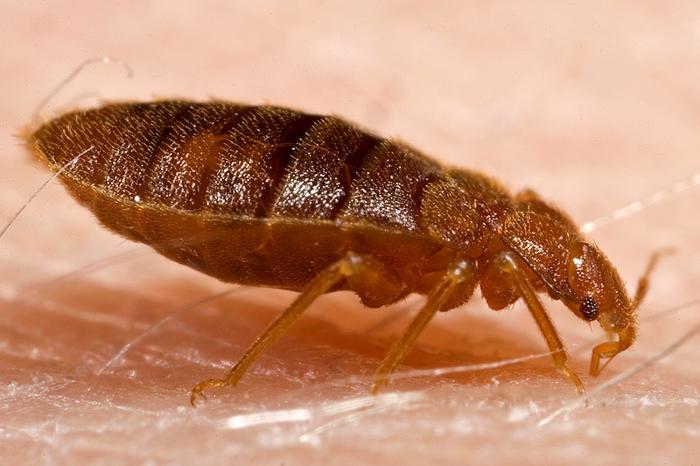 [photo: bedbug